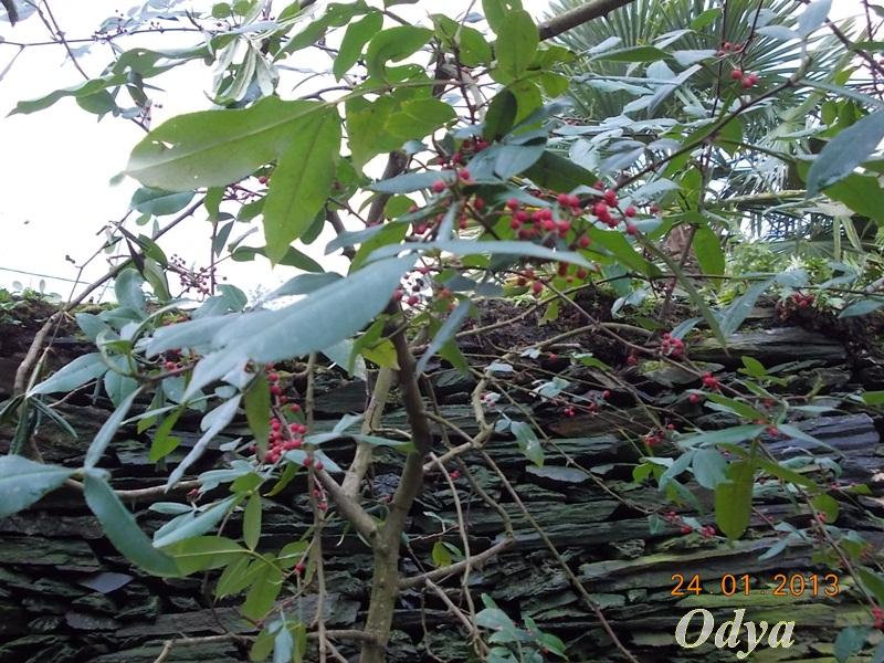 poivre du sichuan arbre