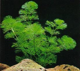 Recifal france algue radiquer caulerpa verticillata for Terreau aquarium